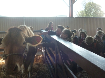 Cows in the animal barn